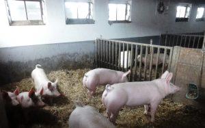 Schweine auf dem Guckertshof